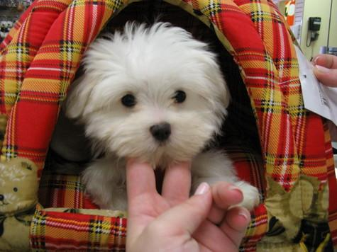 Top Quality Malteses Puppies:....contact us at(469) 309-5528