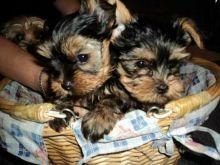 Fantastic Female and Male Y.o.r.k.i.e puppies for new home
