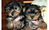 BEAUTIFUL Y.O.R.K.I.E Puppies: contact us at (260) 275 x 7135 any time