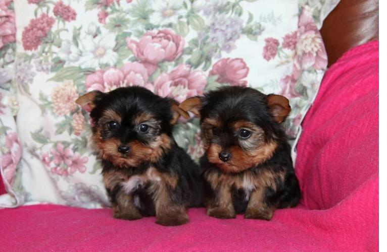 ?Y.o.R.k.i.e P.upp.i.e.s For F.r.e.e, Ready Now 12 Weeks Old # (240)490 9360