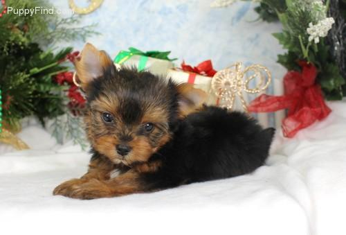 *Top Quality Short Y.o.r.k.i.e puppies(985) 200-6985
