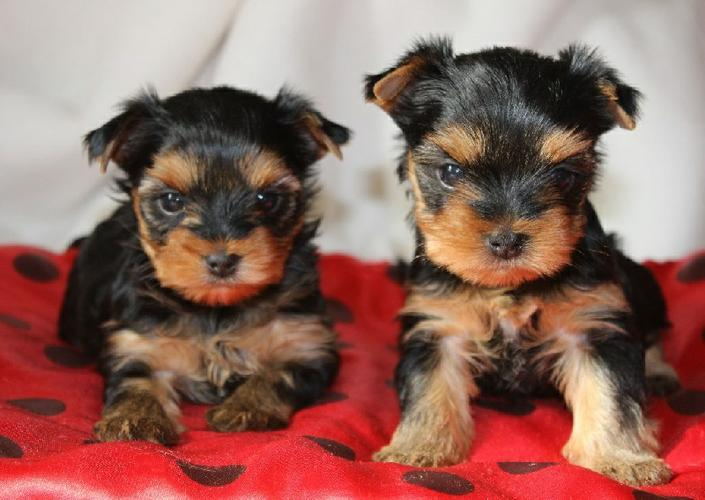 amazing tea cup Yorkshire puppies for Adoption