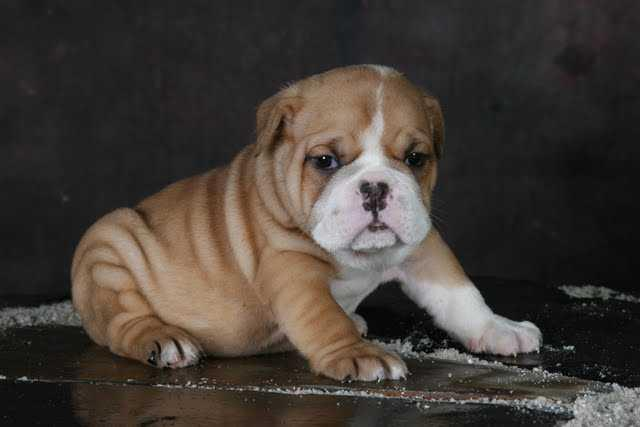 ?E.n.g.l.i.s.h.B.u.l.ld.o .g P.upp.i.e.s For re.homing, Ready Now 13 Weeks Old #(847) 865-4101