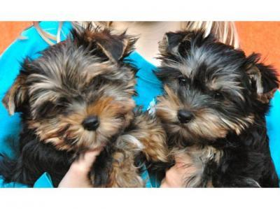 ?Y.o.R.k.i.e P.upp.i.e.s For F.r.e.e, Ready Now 12 Weeks Old  (240) 232-5244