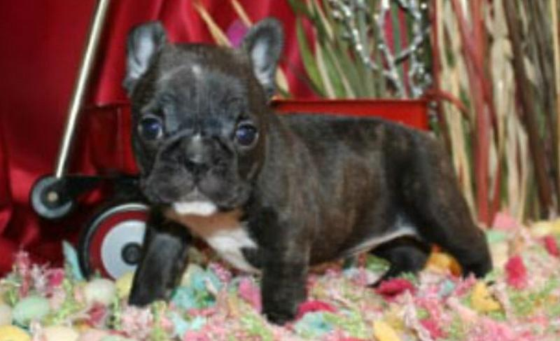 FREE Beautiful f buldog Pu.pp.ies Available (469) 205-9287