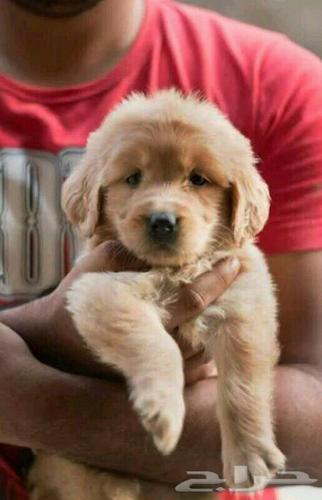 X-Mass Cute GOLD.E.N  RETRIE.V.E.R Puppie.s 360 646-8485