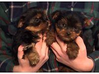 Quality  Y.o.r.k.i.e Pups Ready now (501)503-3963