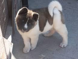 FREE Quality Akita Puppies:contact us at (225) 286-7065
