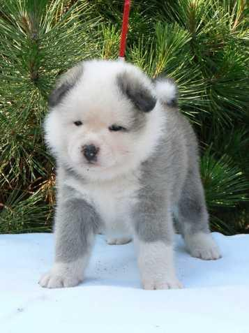 FREE Quality Akita Puppies:contact us at (225) 286-7065