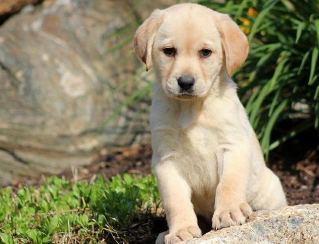 FREE Quality Labrador Retriever  Puppies:contact us at(218) 303-5958