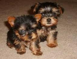 #Charming Teacup Yorkies Puppies#SMS(443) 267-8170