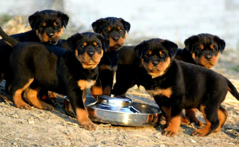 R.O.T.T.W.E.I.L.E.R Pu.pp.ies For sale .Males and females available.Interested person should email