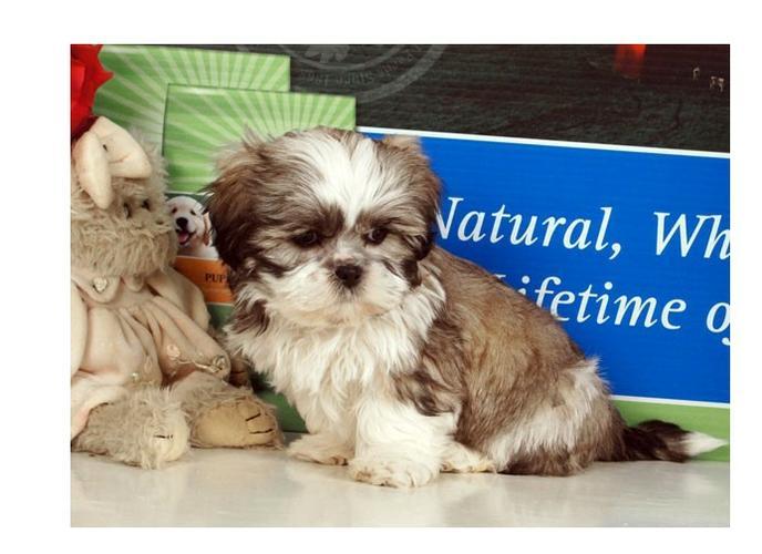 free Cute s.h.i.h t.z.u Puppie.s(210) 987-1248
