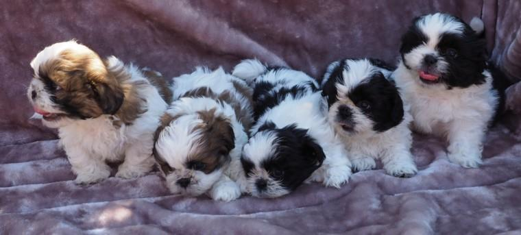 Adorable Shitzu Puppies For adoption .