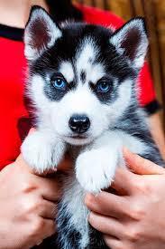 Black and White S.I.B.E.R.I.A.N .H.U.S.K.Y Puppies(302) 585-5627