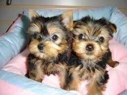 @@@ Healthy Yor.ki.eTeacup puppies!!!(301) 539-2076