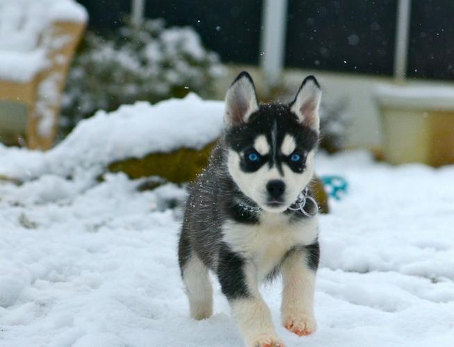 Charming Blue Eyed siberians huskys Puppies!!!(412) 294-9855