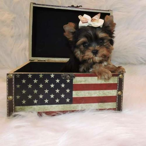Quality Short Y.o.r.k.i.e puppies for Rehomiming