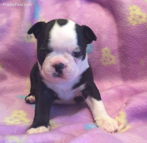 Sweet and Quality Bos.ton Ter.rier Puppies (301) 690-6347