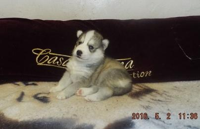 ??? Quality siberians huskys Puppies:???contact us at (347) 696-0307