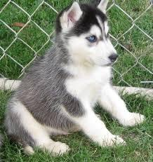 !!!!! Quality siberians huskys Puppies:!!!contact us at(818) 949-6355