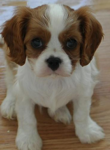 Beautiful Cavalier King Charles Puppies For Sale
