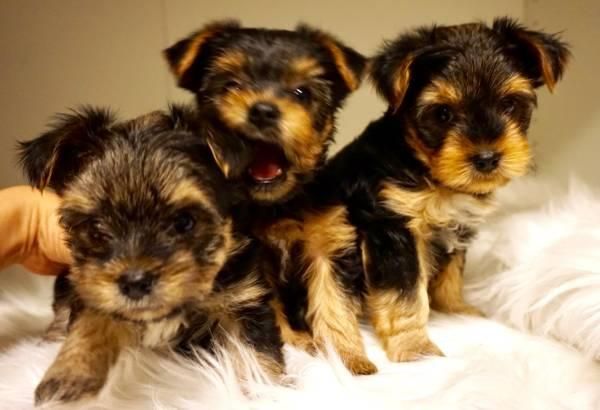 Affectionate Yorkie puppies for sale text or call 404) 994-2763