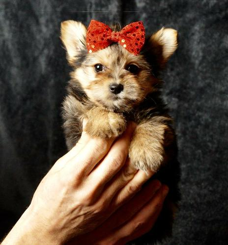 Top TeaCup - Yorkiez Pu.ppiez  (409) 751-2244