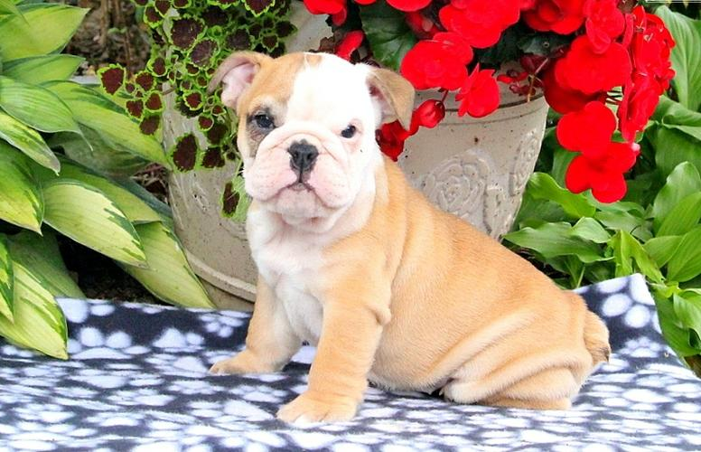 English Buldogss Pupps For Freee