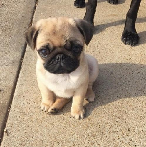 Gorgeous Pug.ppies ) Need Hom (305)901-8341.