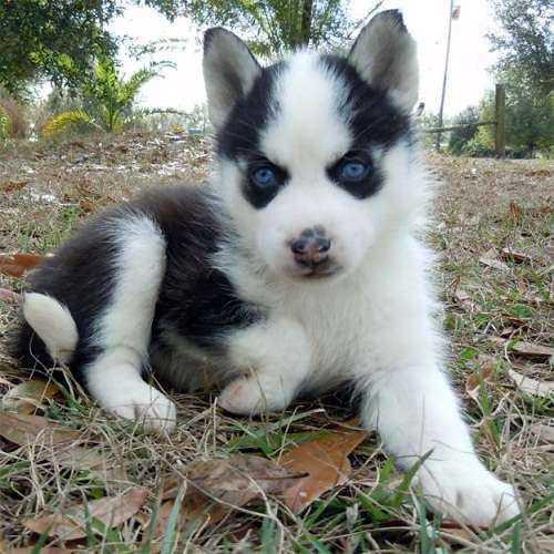 .Free Siberians huskys Puppies:(646) 439-7064
