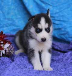Healthy Siberia.n Husk.y puppies!!! SMS at (440) 490-6115