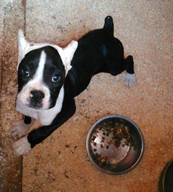 Free Boxer Gorgeous Puppies Not For Sell Free) Need Home