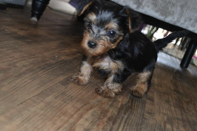 ?Y.o.R.k.i.e P.upp.i.e.s For F.r.e.e, Ready Now 12 Weeks Old (770) 232-6588