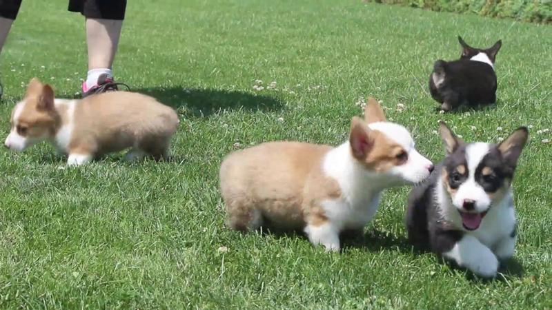 Pennysaver Corgi Puppies For Sale Pembroke Welsh Corgi In Marion
