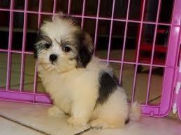 ** Shih Tzu Puppies;(980) 288-7388 -- (small fees)