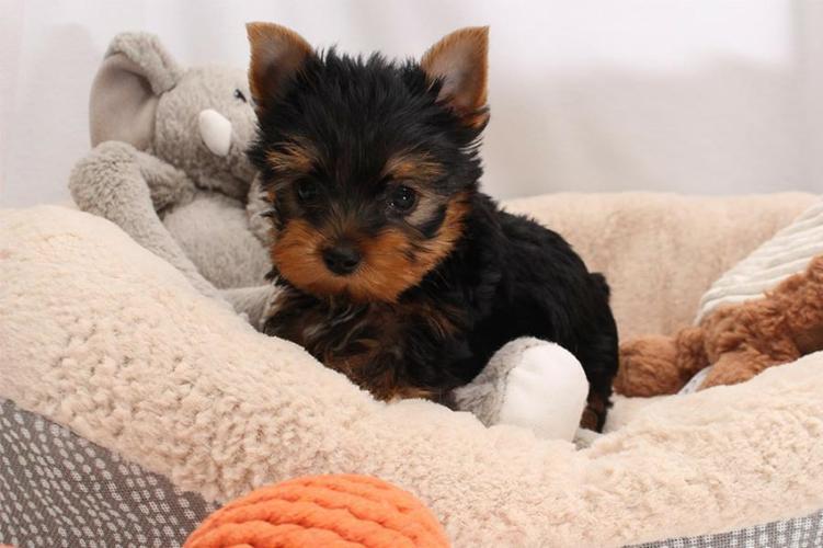 Quality Short Y.o.r.k.i.e puppies(443) 267 8170