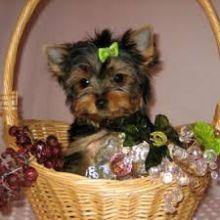 #Awesome Charming Female and Male Y.o.r.k.i.e puppies#