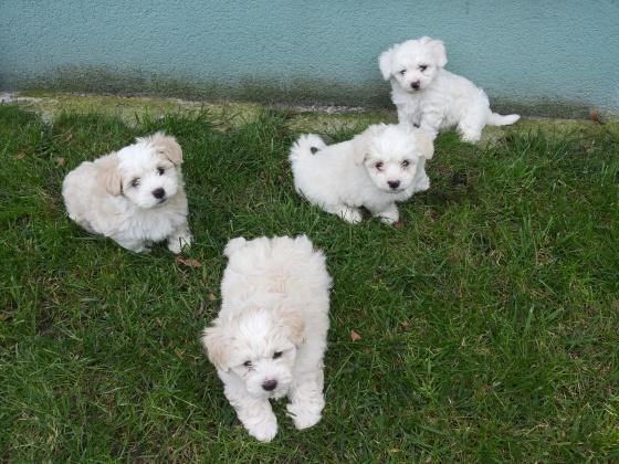 CUTE M.A.L.T.E.S.E Puppies (404) 445-4805 : ???