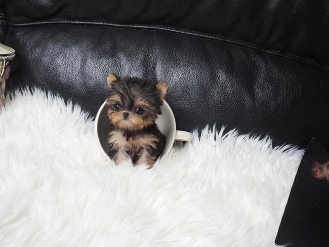 Cute Y.O.R.K.I.E Puppie.s
