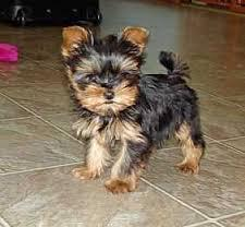 Male and Female Yorki puppies for new home contact us for more info about them and pictures