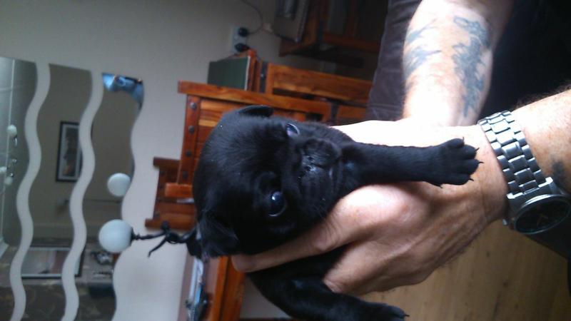 We have beautiful and cute P.U.G Puppie.s