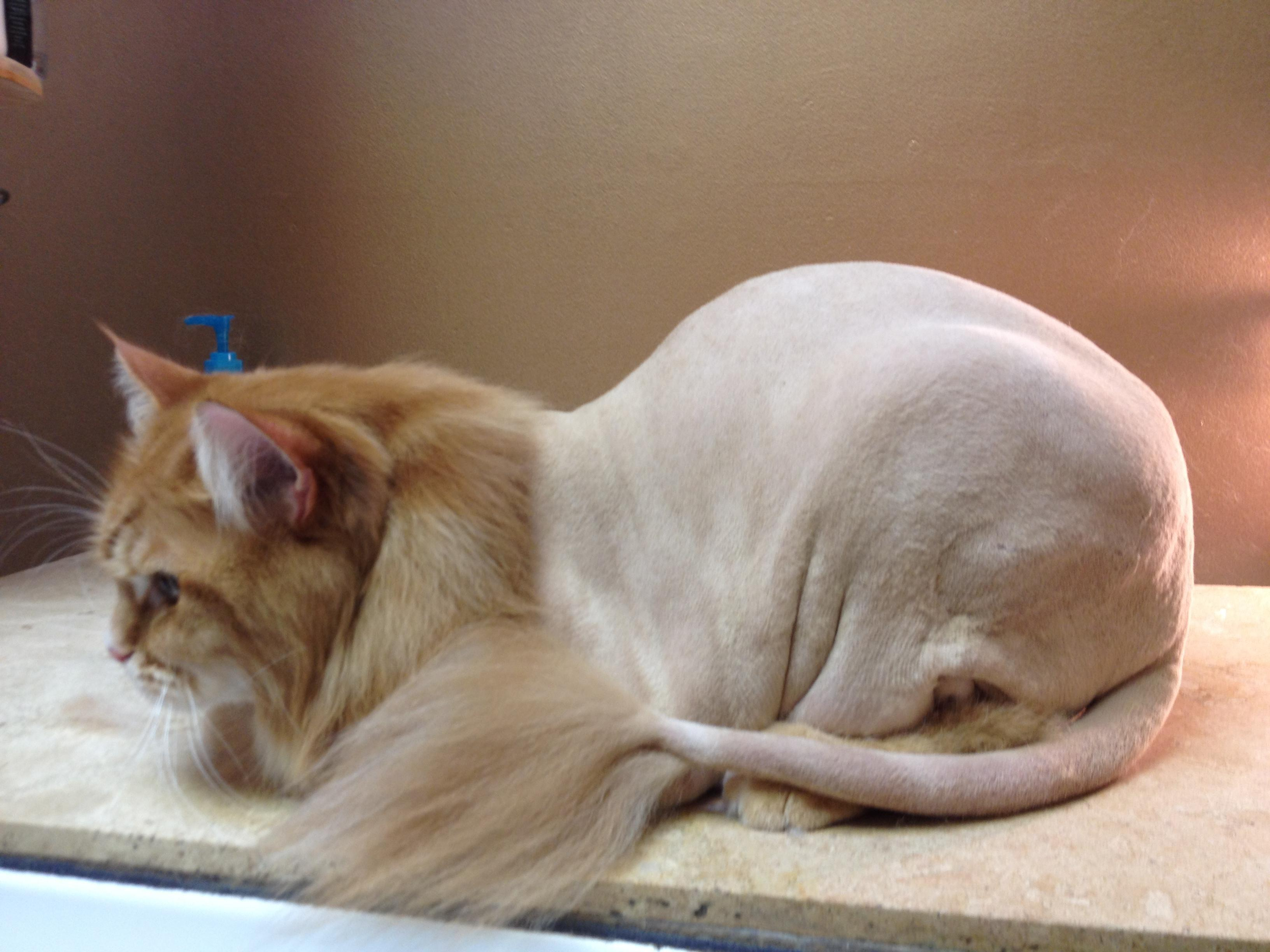 THE MAIN LION Cat Grooming Salon - Cat Groomer, Pet Grooming