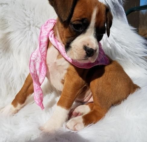 PennySaver | Quality AKC reg Red & White boxer puppies For