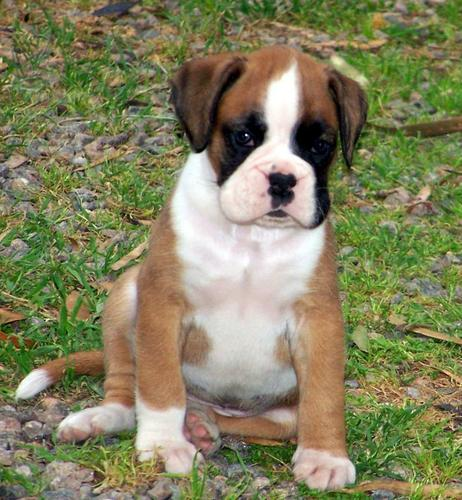 beautiful boxer puppies(763) 307-7345