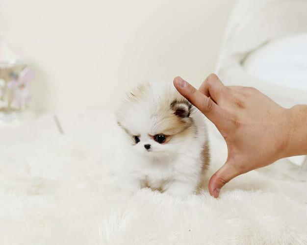Gorgeous .Mini P.o.m.e.r.a.n.i.a.n puppies!!!sms (252) 678-5431