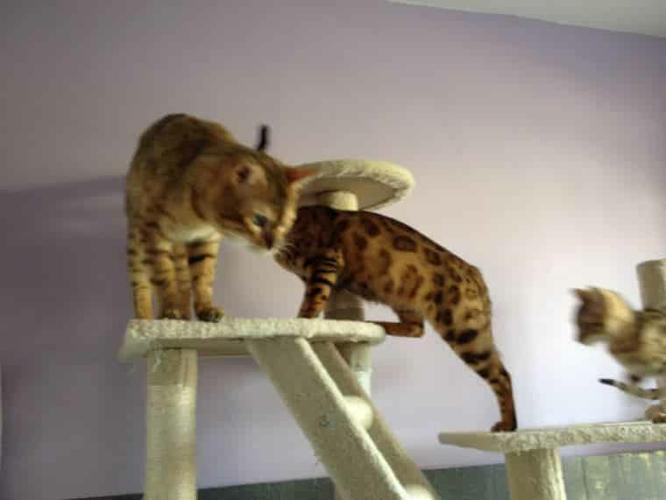 Beautiful TICA Reg. Bengal kittens