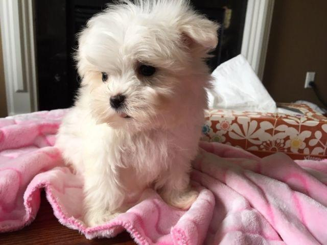 BEAUTIFUL M.A.L.T.E.S.E Puppies: contact us at (509) 497 x 8560 any time