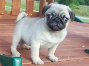Quality Trained Pug Puppies:....**