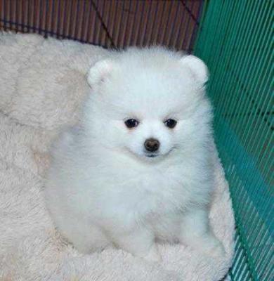 100% pure breed P.o.m.e.r.a.n.i .a.n puppies (631) 533-0129